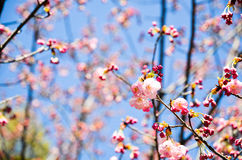 Cherry Blossoms i den Hirano Jinja relikskrin, Kyoto Royaltyfria Foton