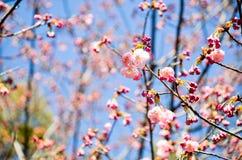Cherry Blossoms i den Hirano Jinja relikskrin, Kyoto Royaltyfri Fotografi