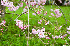 Cherry Blossoms i den Hirano Jinja relikskrin, Kyoto Arkivfoton