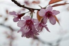 Cherry Blossoms i natur royaltyfria bilder