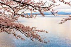 Cherry Blossoms i Shiga, Japan Arkivfoton