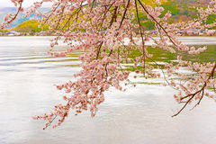 Cherry Blossoms i Shiga, Japan royaltyfri fotografi
