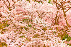Cherry Blossoms i Shiga, Japan arkivbild