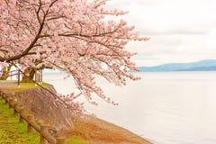 Cherry Blossoms i Shiga, Japan Arkivbilder