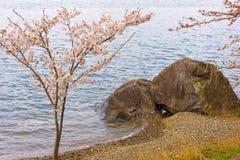 Cherry Blossoms i Shiga, Japan Royaltyfria Bilder