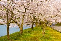 Cherry Blossoms i Shiga, Japan Royaltyfri Bild