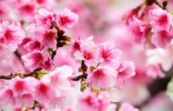 Cherry Blossoms i Taipei, Taiwan royaltyfri foto