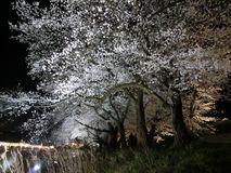 Cherry blossoms illuminated Stock Image
