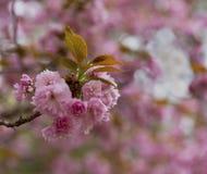 Cherry Blossoms im Detail stockfotografie