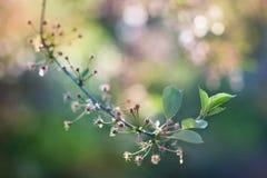 Cherry Blossoms im Frühling Stockfoto