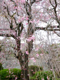 Cherry blossoms. Image of cherry blossoms in Japan in Spring Royalty Free Stock Image