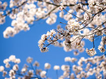 Cherry blossoms. Image of cherry blossoms in Japan in Spring Stock Image