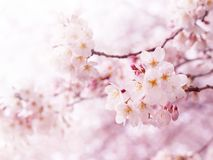 Cherry Blossoms In Full Bloom. Royalty Free Stock Images