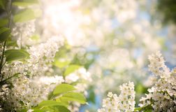 Cherry Blossoms In Nature ,used Filter Royalty Free Stock Images