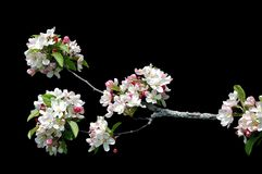 Cherry blossoms isolated. A isolated picture of white cherry blossoms on black background Royalty Free Stock Photography