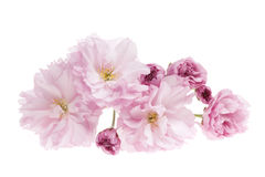 Cherry blossoms isolated Stock Photography