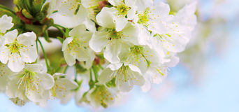 Cherry blossoms  . Royalty Free Stock Images