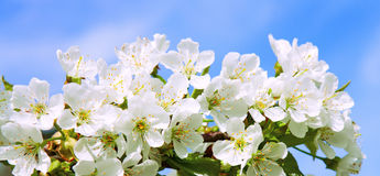 Cherry blossoms  . Stock Image