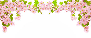 Cherry blossoms isolated. Royalty Free Stock Photo