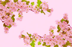 Cherry blossoms . Royalty Free Stock Image