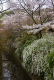Cherry Blossoms of Japan Royalty Free Stock Photos