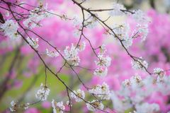 Cherry blossoms in Japan with blurry pink background. Moody sakura, white cherry blossoms flowers tree with bokeh blurry pink cherry blossoms in the background Royalty Free Stock Photo