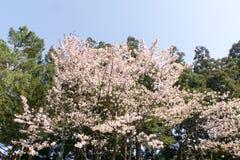Cherry blossoms. In Japan sakura Stock Image