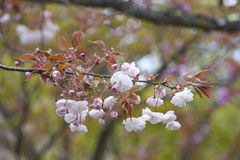 Cherry blossoms, Japan springtime. Cherry blossoms in full pink splendor, Kyoto, Japan Royalty Free Stock Photos