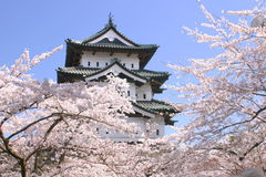 Cherry blossoms and Japanese castle tower. Full bloomed cherry blossoms and Japanese castle tower at Hirosaki, Japan Royalty Free Stock Photography