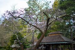 Cherry blossoms in Japanese Tea Garden. Golden Gate Park, San Francisco, California: 03/23/2018 - cherry blossom next to Japanese Tea Garden that was not ready stock images