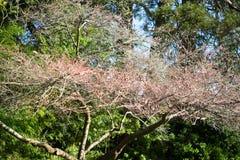 Cherry blossoms in Japanese Tea Garden. Golden Gate Park, San Francisco, California: 03/23/2018 - cherry blossom next to Japanese Tea Garden that was not ready stock photo
