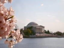 Cherry Blossoms Jefferson Memorial Tidal handfat Arkivfoton