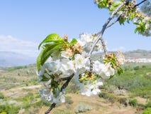 Cherry Blossoms Jerte dal royaltyfri fotografi