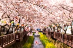 Cherry blossoms in jinhae. Cherry blossoms dangling on top of a small bridge over the Yeojwacheon stream in Jinhae Stock Photography
