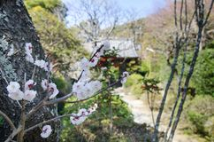 Cherry blossoms in Kamakura area, Kanagawa Prefecture stock photo