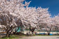 Cherry blossoms at Kawaguchiko lake, Japan Royalty Free Stock Photos