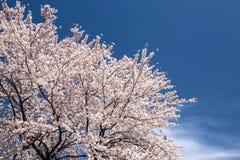 Cherry blossoms at Kawaguchiko lake, Japan Stock Photos