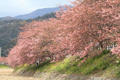 Free Cherry Blossoms (Kawazu Cherry) And Kawazu River Stock Images - 51003604