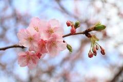 Cherry blossoms (Kawazu Cherry) Stock Photo