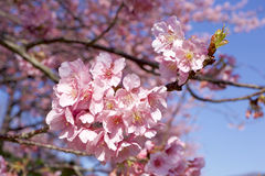 Cherry blossoms Royalty Free Stock Photography