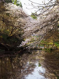 Cherry Blossoms/Kirschblüte Stockbild