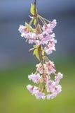 Cherry blossoms at Kitakata, Fukushima Royalty Free Stock Image