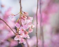 Cherry blossoms at Kitakata, Fukushima Stock Photos