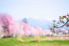 Cherry blossoms at Kitakata, Fukushima Royalty Free Stock Photo
