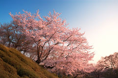 Cherry Blossoms at Kiyomizu-dera, Kyoto, Japan stock photos