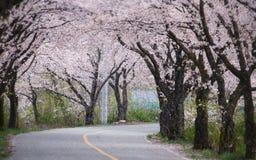 Cherry blossoms in Korea. Horizontal stock image
