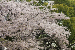 Cherry Blossoms of Kyoto Japan Stock Image