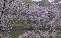 Cherry blossoms landscape. In the cloudy day Stock Photos