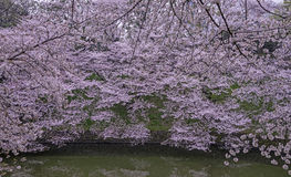 Cherry blossoms landscape. In the cloudy day Stock Image