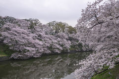 Cherry blossoms landscape. In the cloudy day Stock Photo